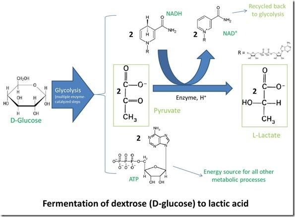 Fermentation of dextrose (D-glucose) to lactic adic